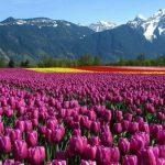 https://indoeuropean.eu/content/uploads/2021/03/acj-2803-kashmir-tulip-garden-150x150.jpg